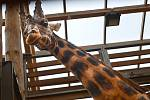 Žirafák Bořek mění Plzeň za Safaripark ve Dvoře Králové.