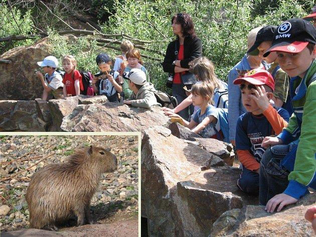 Na snímku děti  ze štěnovické základní školy s vychovatelkou  Václavou Volfovou sledují jihoamerického hlodavce kapybaru ( v zářezu)