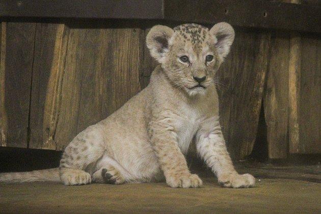 Lvíčata berberská v plzeňské zoo.