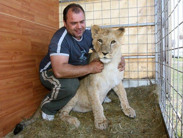 Pět dospělých lvů berberských a dvě roční koťata můžete vidět v cirkusu Carini