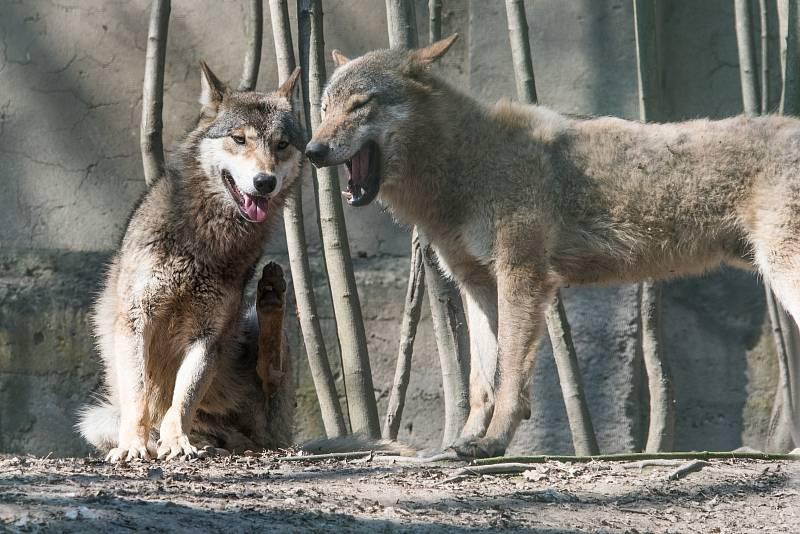 V plzeňské zoologické zahradě odstartovala hlavní sezóna. Na snímku vlk obecný