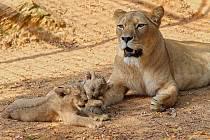Vládce a Jedinečná. Dvě nejnovější mláďata lva berberského mají od čtvrtka jména – samec se jmenuje Fazan, samička Farida.