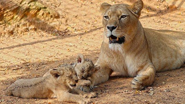 Dvě nejnovější mláďata lva berberského mají od čtvrtka jména, samec se jmenuje Fazan, samička Farida