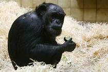 V plzeňské zoo křtili šimpanze