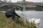 Labutí pár zahnízdil na Radbuze u kanoistického oddílu, ochránci jej museli kvůli bezpečnosti přesunout dál po řece.