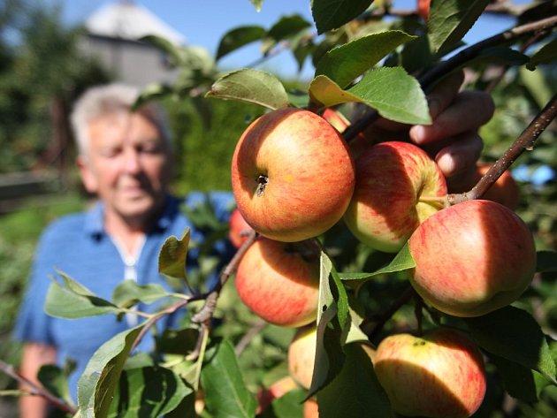 Václav Rajšl na jabloni předvádí, jak letos může vypadat úroda na správně opečovávané jabloni. Vše záleží na lokalitě a péči, kterou stromům zahrádkář věnuje
