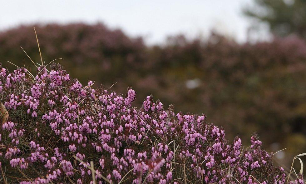 Národní přírodní památka Křížky kvete růžově, postaral se o to vřesovec pleťový.