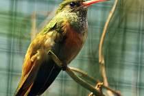 Zoo poprvé chová vzácného kolibříka