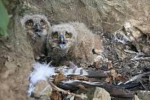 Ochránci zvířat vyrazili kroužkovat ptačí mláďata