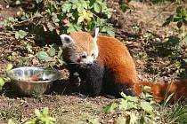 Panda červená v plzeňské zoo