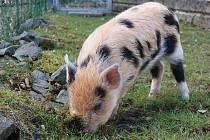 Miniprase nyní čeká v záchranné stanici živočichů na nového majitele.