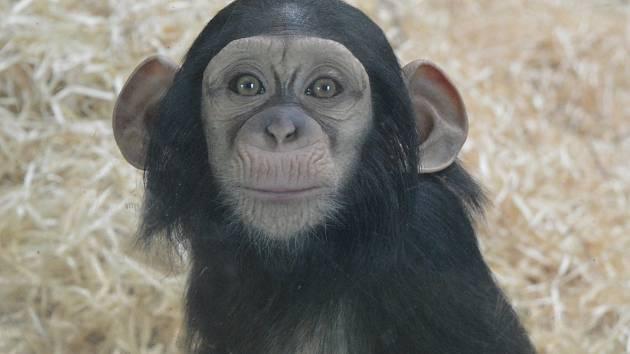 Šimpanzice Caila oslavila první narozeniny.