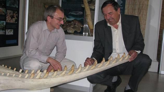 Kurátor výstavy Roman Vacík (vlevo) a Miloš Anděra z Národního muzea v Praze ukazují čelist vorvaně, která je jedním z lákadel plzeňské výstavy Moře a život