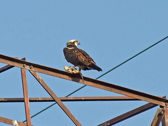 Ochranáři lákají orlovce říční na Plzeňsko