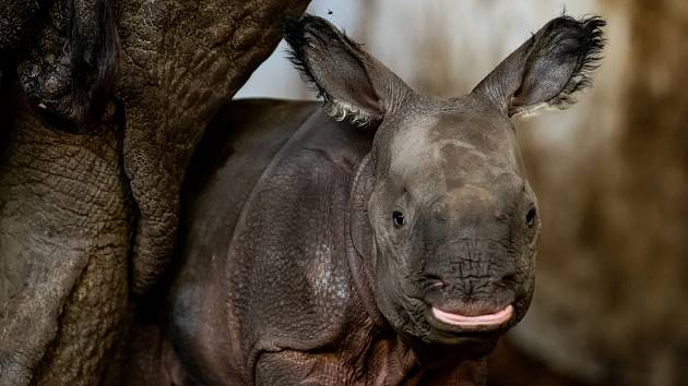 Nosorožčí samice z plzeňské zoo porodila v Polsku své první mládě