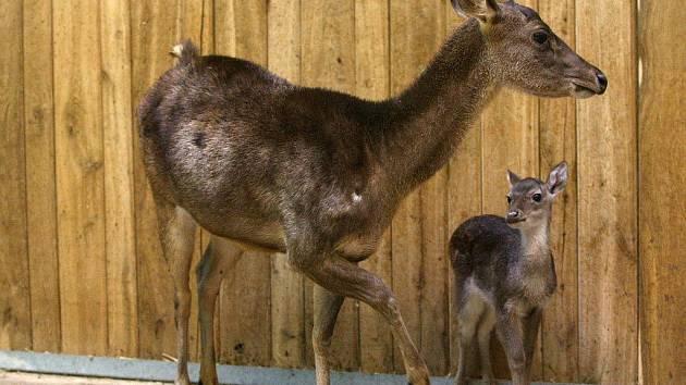Mládě jelena timorského v plzeňské zoo