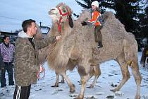 V zimovišti cirkusu Aleš v Kyšicích si pochutnávala na sladkostech také zvířátka.