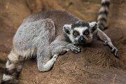 V plzeňské zoologické zahradě odstartovala hlavní sezóna. Na snímku lemur kata