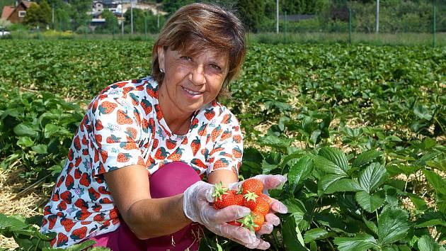 Na jahodových plantážích v Plzni Radčicích dozrává první letošní úroda jahod. Na snímku vedoucí prodeje jahodárny Věra Hasmanová.