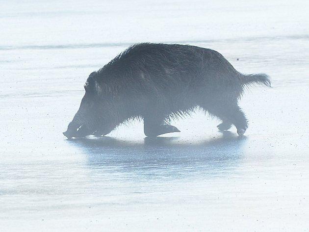 Divočák uvízl na ledě na Borské přehradě. Když se pro něj vypravili ahsiči, podařilo se mu z ledu dostat a prorazit plot