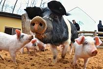 I prasata musejí v létě dodržovat pitný režim.