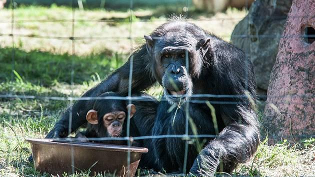 Šimpanzici Caile je půl roku
