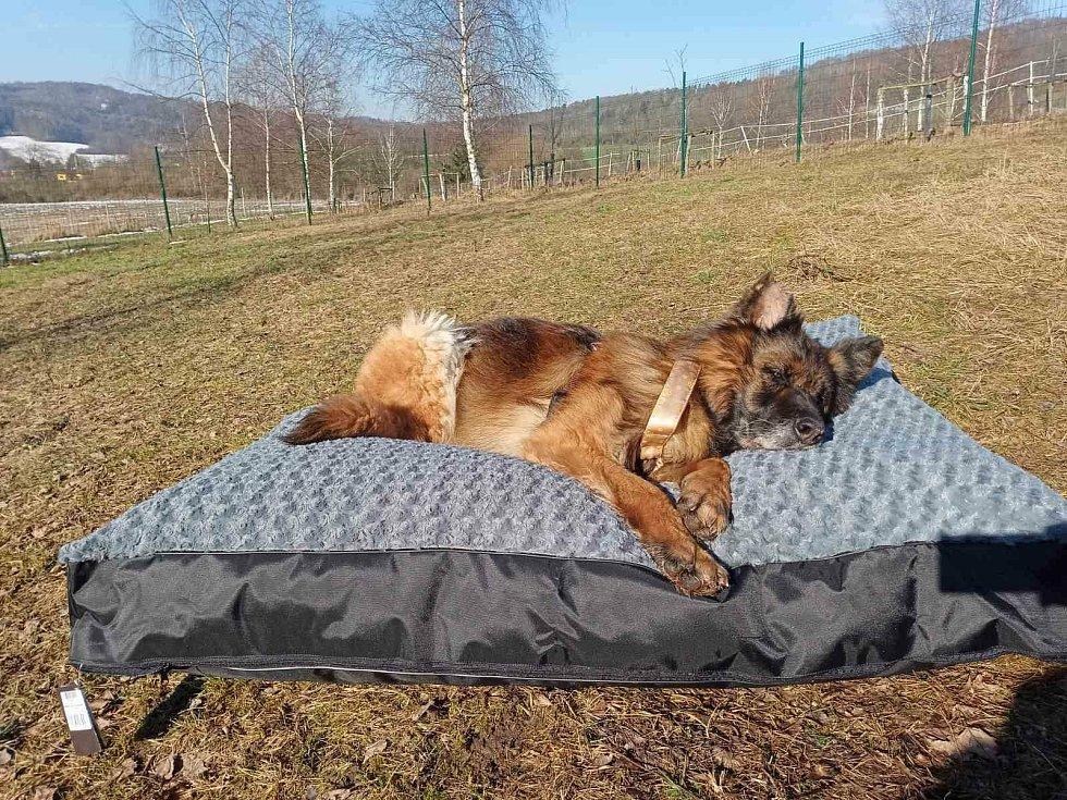 Fenka Sofi, které se ujal spolek Home 4 Pets. Její zdravotní a fyzický stav se postupně lepší. Foto: Home 4 Pets