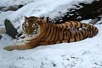 Ze zimy  mají v zoo radost tygři ussurijští.