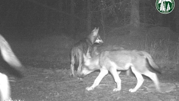 Fotopasti zachytily v posledních měsících na Šumavě kojící vlčici či malá vlčata.