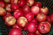 Jablečné sady v Břasích.
