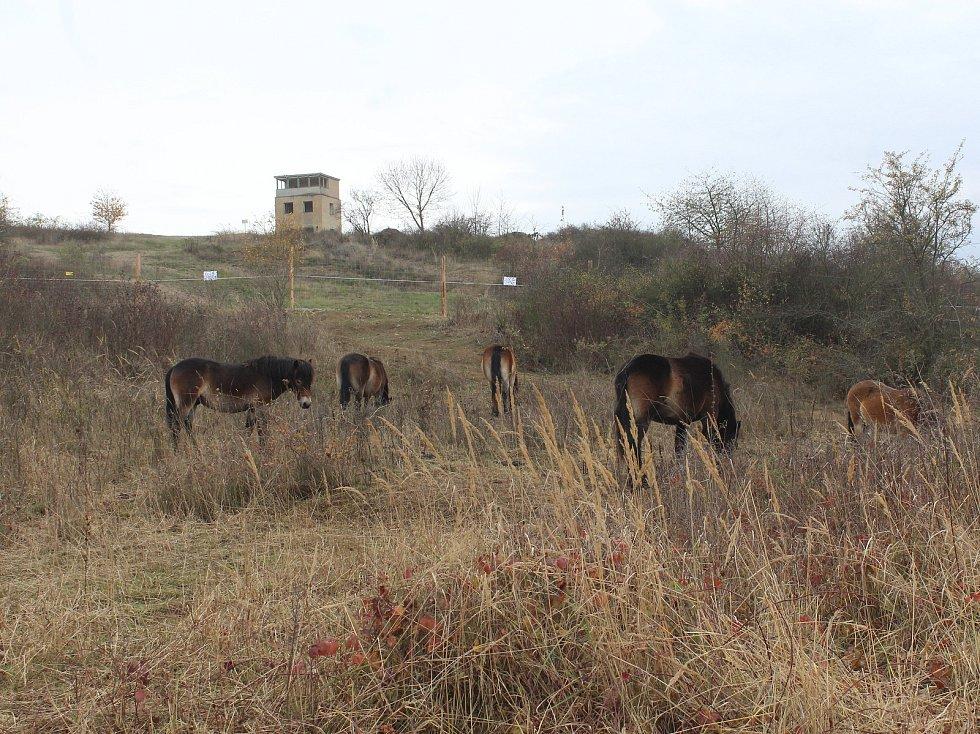 Stádo exmoorských divokých koní na Šlovickém vrchu u Dobřan.