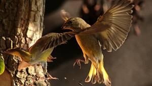 Přikrmování ptáků.