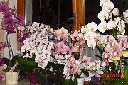"""""""Posílám foto orchidejí –  chlouby mé maminky Marie Hodkové z Radčic."""" Tímto popiskem řekla dcera Kamila vše, a nám nezbývá  než fotografii oprávněně zařadit do soutěže Nej, Nej, Nej..."""