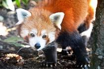 Panda červená utekla z plzeňské zoo.