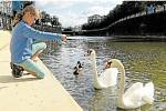 Handicapované labutě se setkaly letos v Plzni na řece Radbuze.