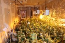 Kriminalisté odhalili několik pěstíren konopí.