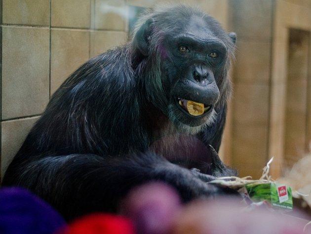 Šimpanzi v zoo dostali nadílku