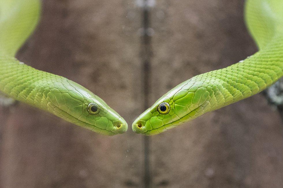 Plzeňská zoologická zahrada obohatila expozici Království jedu o mamby zelené.