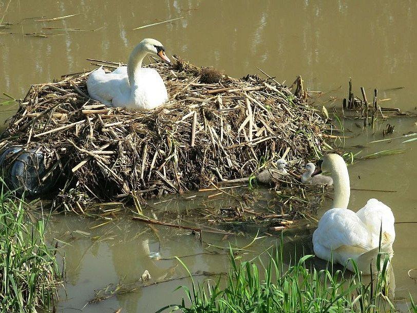 Labutí rodinka v Plzni na řece Radbuze.