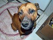 ZDRCUJÍCÍ POHLED se naskytl pracovníkům, kteří se starají o psy v útulku U Šmudliny.  Našli mrtvého psa v zamčeném kotci, kterého tam musel někdo hodit horním otvorem. Na snímku ukazuje správcová útulku uhynulého psa a obojek, který mu patřil.