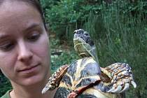 Želvě praskl krunýř. Ukazuje ji Hana Robejšková ze Záchranné stanice živočichů v Plzni.
