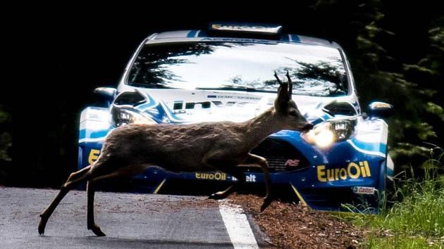 Na fotografii z loňské Rallye Český Krumlov uskakuje srnec během erzety před projíždějící fiestou plzeňské posádky Václav Pech ml., Petr Uhel.