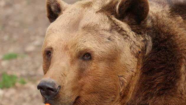 Medvěd hnědý.
