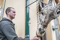 Ošetřovatel Tomáš Weber ml. se v plzeňské zoologické zahradě stará o žirafy.