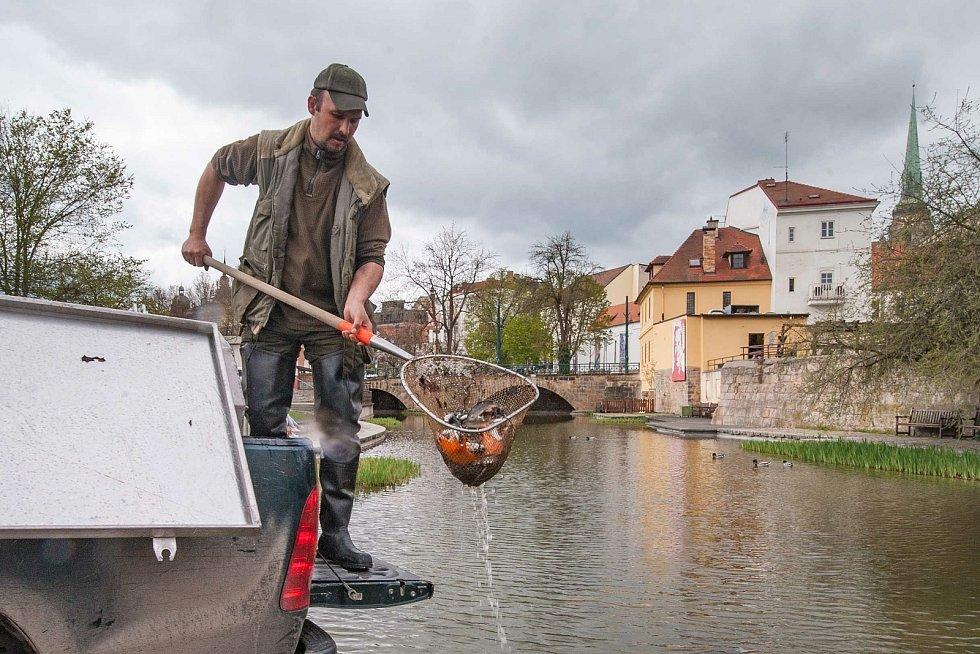 Ze sádek v Košináři se do Mlýnské strouhy vrátilo přes tisíc ryb. Vysadili se zde kapři koi, amuři, okouni a ostroretky stěhovavé.