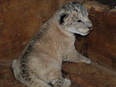 Nový přírůstek v plzeňské zoo - mládě lva berberského