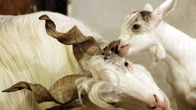 Mláďata kozy girgentánské a ovce ovce valašky v plzeňské zoo