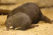 Mangusta tmavá pochází ze Západní Afriky. Plzeňské zoo se jako první tuzemské zahradě podařilo tyto vzácné šelmičky odchovat
