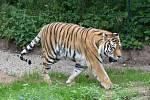 Ve svém výběhu v plzeňské zoo si pomalu zvyká nová tygřice Milashki. V nově zrekonstruovaných výbězích doplnila do páru tygra Tibera (na snímku).