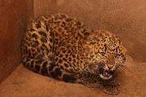 Pětiměsíční samičku levharta čínského mohou návštěvníci plzeňské zoo vidět ráno a těsně před soumrakem